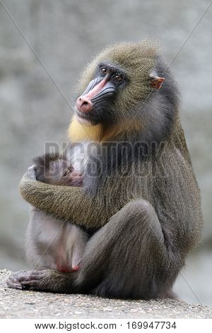 A Mandrill mother holding her child in her arms