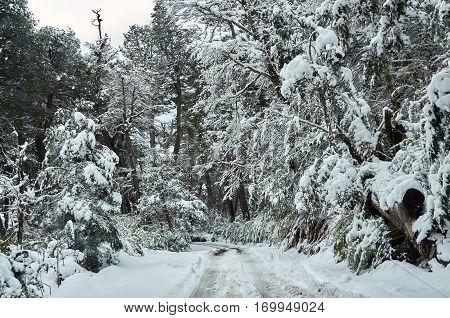 Snowy Forest Way To Bariloche