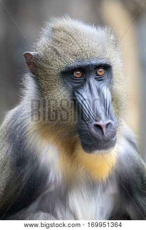 A young male Mandrill portrait with a blurry background