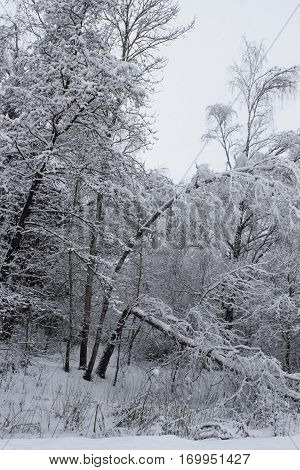 Russian Winter forest with a lot of snow and a broken tree