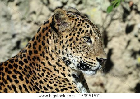 Panthera pardus kotiya close up with a green background