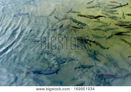 Shoal Of Trout