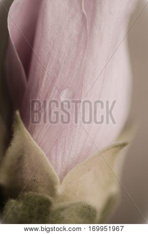 Macro shot of fuzz on a pink rose
