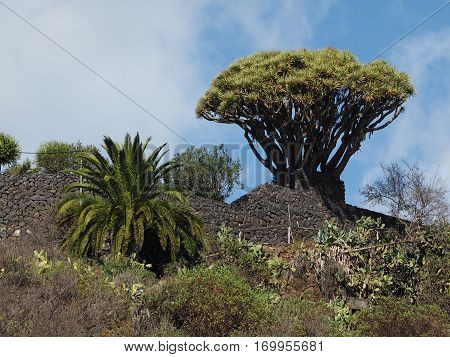 Tree with blue sky background in La Palma