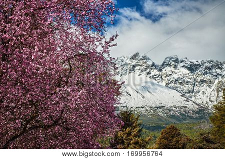 Cherry Blossoms And A Snowy Mountain