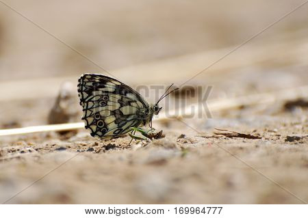 Melanargia galathea. Marbled white butterfly in natural habitat., Butterfly on the ground.