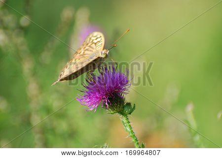 Argynnis pandora - Cardinal cloak butterfly on a flower in meadow with a green background