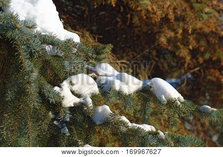 Pine branch cower by snow. Nature background.