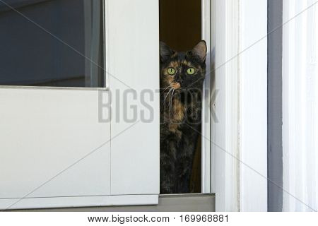 Tortie Tabby cat peaking out through a sliding glass door curious about the world outside but too nervous to venture outside.