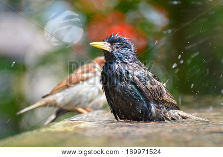 Starling having bird bath