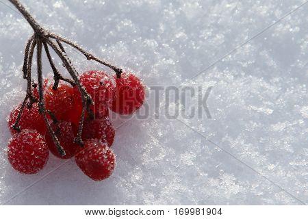 Frozen rowan berries on a snow macro image