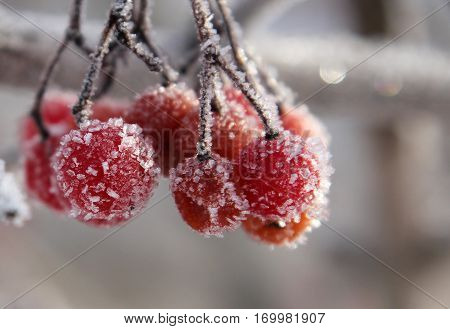 Rowan berries covered with hoarfrost macro image