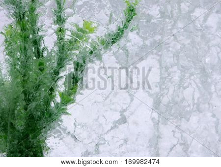 Green algae in ice block winter background