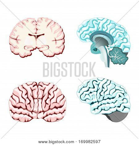 Isolated brain cross section. Illustration of human brain for medical design or study. Set illustration of parts cerebellum: thalamus hypothalamus pineal gland and other. Easy recolor.