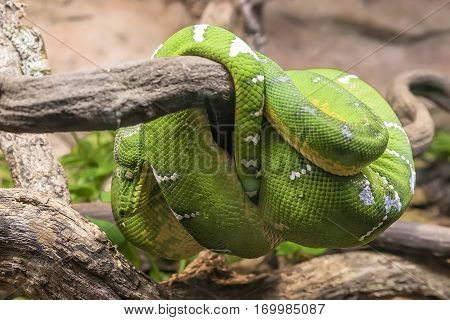 Green Snake on a branch of dry wood