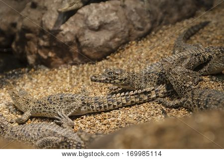 Small crocodiles lie near the pond on the small pebbles