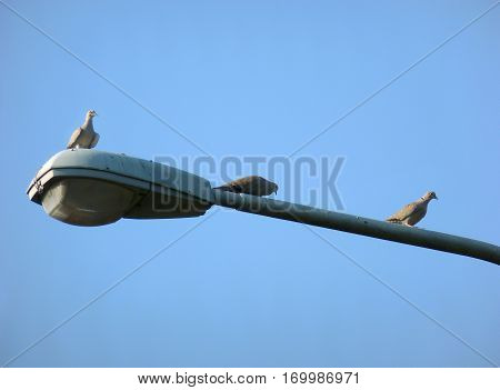Photo of three Eurasian collared doves sitting on a street lamp