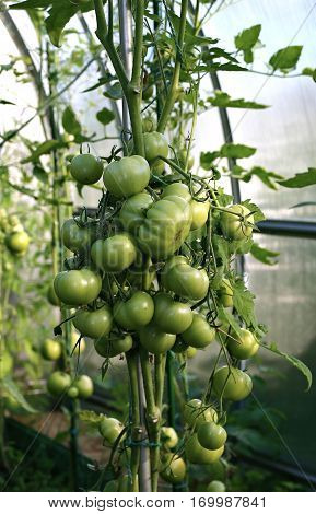 Ripening many green tomatoes in a greenhouse