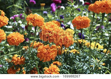 Many bright orange marigold flowers in the garden