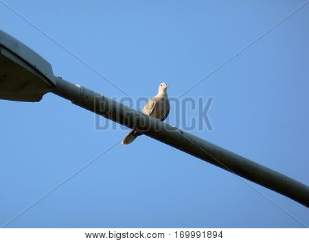 Photo of a Eurasian collared dove sitting on a street lamp