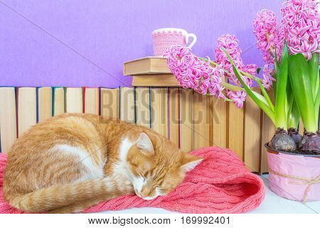 Red And White Cat Sleeping On Pink Scarf