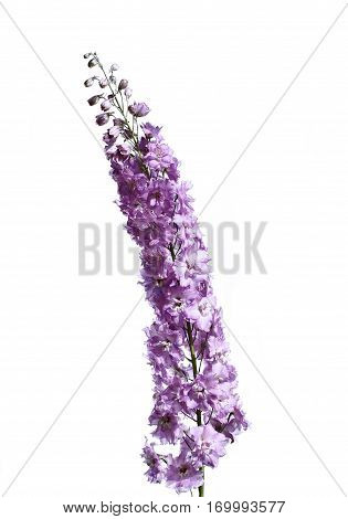 High inflorescence of pink delphinium flowers isolated on white background