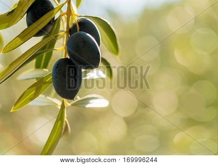 mediterranean olives with negative space of a green bokeh background in late summer sun. Room for text or copy space