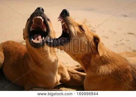 dogs play on the sandy beach and growl