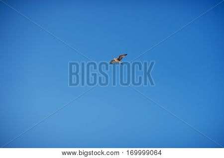 Flying herring gull Larus argentatus in blue sky