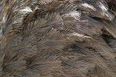 closeup rhea feathers poster