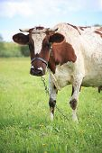 brown spotted cow on a meadow poster