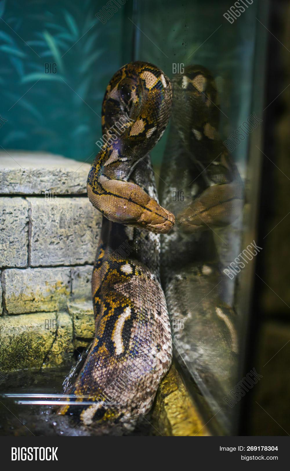 Dangerous Snake Boa Image Photo Free Trial Bigstock