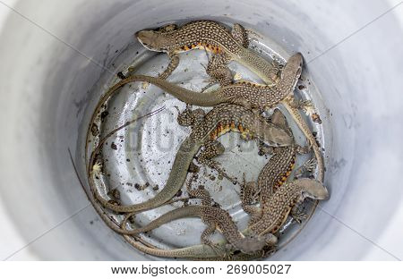 A Group Of Butterfly Lizards In The Metal Basin In Thailand, Butterfly Agamas