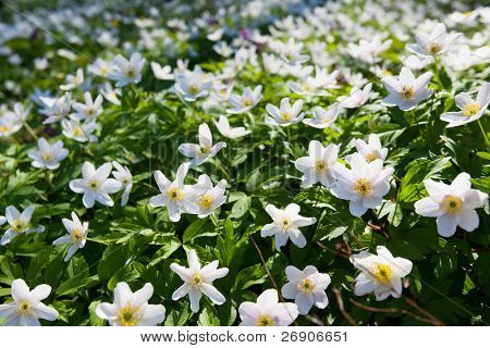 Springtime is the moment for this beautiful flower. Snowdrop anemone