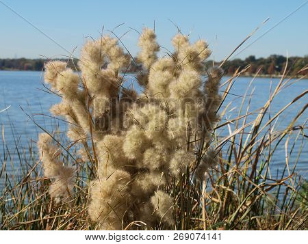 Autumn Changes Up The View Around A Large City Lake. The Natural Grasses Are Part Of A Reintroductio