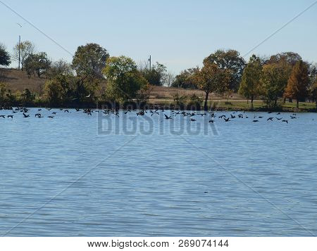 Hundreds Of Cormorants Fly Across A Lake Inches Above The Water Line. The Wind Resistance Is Lower W