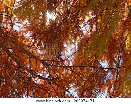 Beautiful Red Needles Of The Bald Cypress In Fall. The Color Can Be Stunning From Tree To Tree.