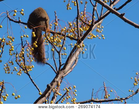 A Red Squirrel Balances On A Small Limb To Eat Berries In Their Diet. The Blue Sky On Yellow Berries