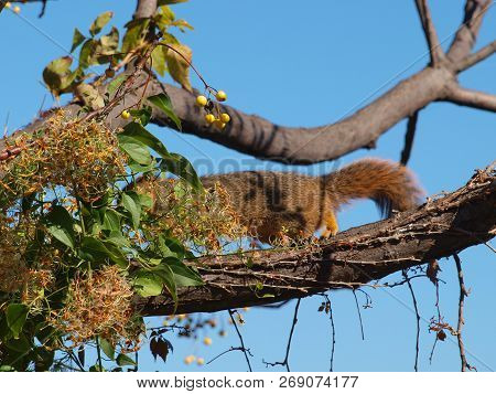 Another Red Squirrel Is Busy With Tasty Seeds From A Plant That Grew Up The Trunk Of A Lake Shore Tr