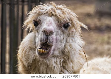 Awfully Ugly Alpaca With Bulging Eyes And Crooked Yellow Teeth (vicugna Pacos)
