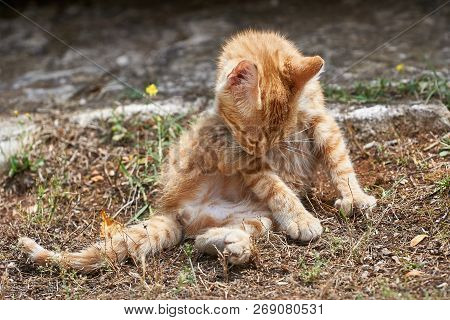 Young Cat On A Path During The Care Of The Fur