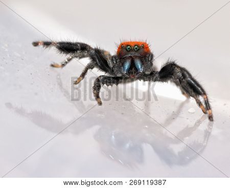 Comical image of a super cute, red and black Phidippus apacheanus, the Apache Jumping Spider, with his beautiful blue chelicerae exposed and front legs splayed poster