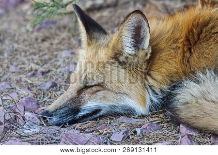 Red Fox Napping Beneath An Evergreen Bush. Colorado Wildlife
