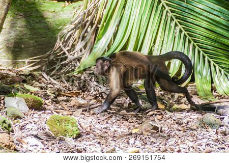 Capuchin monkey at Ile Royale, one of the islands of Iles du Salut Islands of Salvation in French Guiana poster