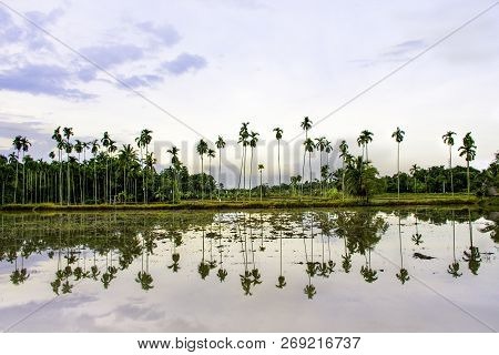 Landscape View Of Coconut Tree With Sunset Light, Row Of Palm Tree With Shadow On Water, Coconut Tre