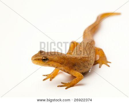 newt on white