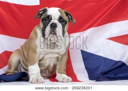 English Bulldog Puppy Sitting In Front Of British Flag