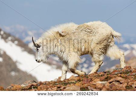 Wild Mountain Goats Living On Colorado Mountain Peaks.