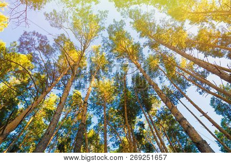 Pine Trees In Forest View From Below