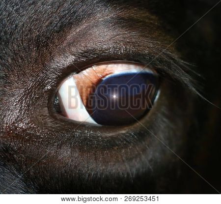 Close-up Of Cow Eyeball - I See You, Watching, Have Eyes For You Concept